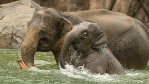 Lily and her mom, Rose-Tu, enjoy a swim Saturday in the Oregon Zoo's new 160,000-gallon pool for pachyderms.