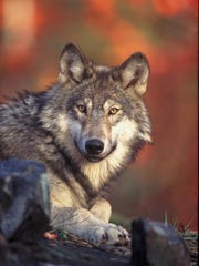 File photo of wolf in Idaho.