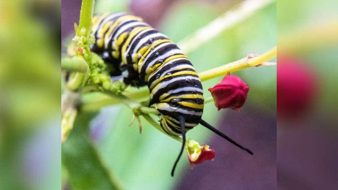 A monarch butterfly caterpillar on its host plant, milkweed, in the garden of Palm Beach resident Linda Beaty in May 2019.