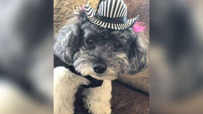 Pet Set: Deedee is a 14-year-old toy poodle owned by Monica and Victor Spilotro.