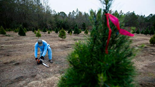 In this Saturday, Dec. 17, 2016 photo, Frank Wadsworth cuts stumps to the ground at his Christmas Tree farm on Saturday, Dec. 17, 2016, in Wetumpka, Ala. (Albert Cesare/The Montgomery Advertiser via AP)