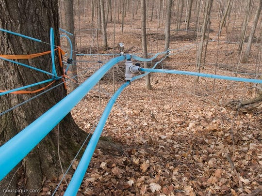 Networks of tubing collect sap in a maple forest.
