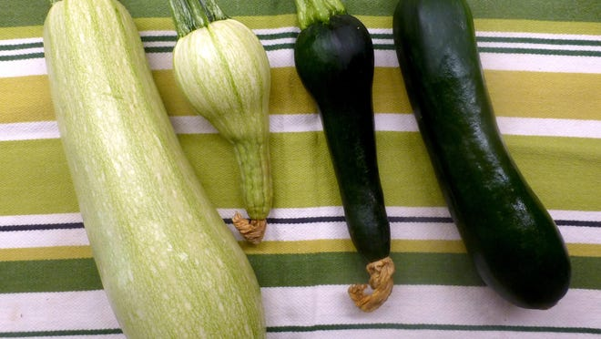Two well-developed and two malformed zucchini squash. The zucchini on the left are the heirloom cultivar 'Ortolana di Faenza' and the zucchini on the right, the cultivar 'Raven'. The two center squash are malformed due to insufficient pollination, but they are still edible. The corollas are still attached to the zucchini in the center.