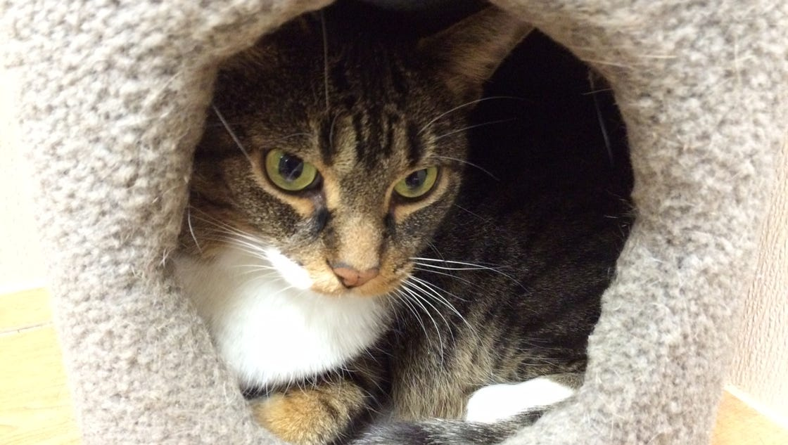 Door County Humane Society Giving Cats Away