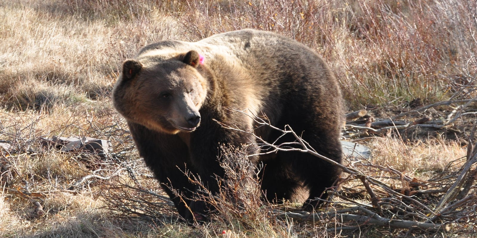Grizzly shot three times by hunter found dead near Augusta