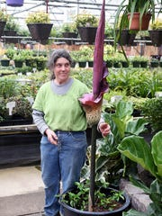 "Marilyn Davis, part-owner and horticulturist at The Brothers Greenhouses, in Port Orchard with the ""corpse flower"" blooming inside the nursery on Wednesday."