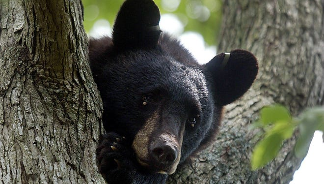 Black bear is a species that has extended its range and increased its numbers in recent years, and this is certainly true in the Hudson Valley.