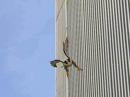An adult peregrine falcon swoops downward in an effort