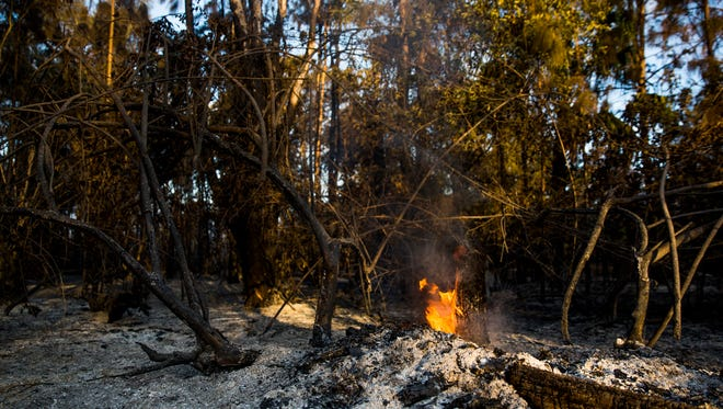 A hot spot continues to burn on Dove Tree Street, just off of Frangipani Avenue in Golden Gate Estates where the two brush fires have grown to more than 1,600 acres on Friday, April 21, 2017.