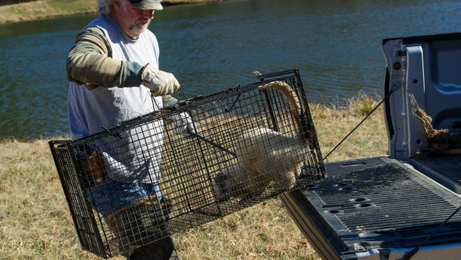 Trapper Mike Wathen of South Gibson County, maneuvers his trap – and the white river otter it contains – from the bed of his pickup truck Friday afternoon.
