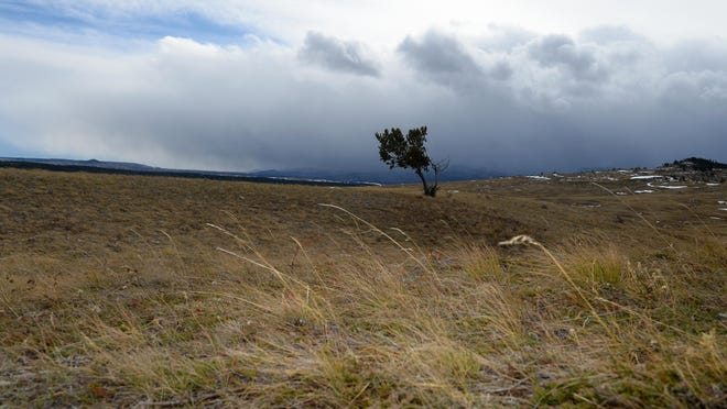 "A lone tree blows in the wind along the Rocky Mountain Front near Heart Butte earlier this month. Prevailing winds from the south and southwest accelerate as they flow over the Rocky Mountains. ""All of the trees have strengthened themselves to align with the prevailing winds,"" said Megan Syner, a meteorologist with the National Weather Service in Great Falls."