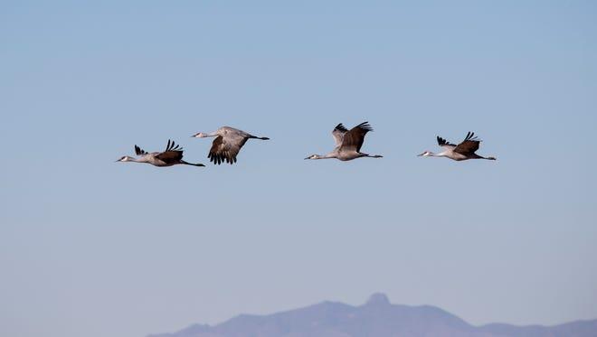 Sandhill cranes take flight, January 16, 2015, at Whitewater Draw, Arizona.