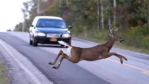 This is a photo of a deer on a roadway in Delaware. November is the most dangerous month for deer-related vehicle accidents.