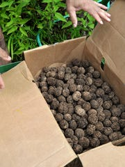 Black walnuts from last year's harvest at Elmore Roots Nursery.