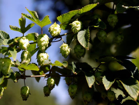 Hops cones are beginning to appear on some of the 22