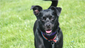 May 11-Bloom is a 1-year-old Chihuahua mix available