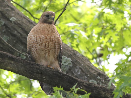 Laura the red-shouldered hawk of Allendale may have found a new nest tree.