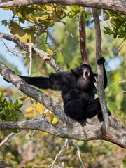 The Siamang gibbons are the second loudest howlers after the howler monkeys.
