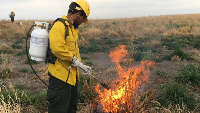 Conservation Corps crew members blowtorch palmar amaranth plants. The state hopes to reduce the seeds that might again sprout the fast-growing noxious weed in the spring.