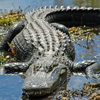 Hunting gators not a simple process