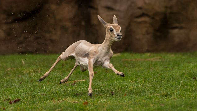 Two-month-old Speke's gazelle Juliet runs and pronks in the Africa Savanna habitat.