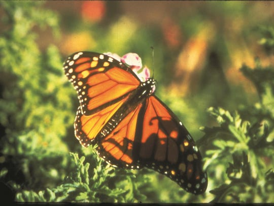 Take part in dog-and-family-friendly activities designed around the Monarch butterfly at Idyllwild Nature Center this August 3-4.