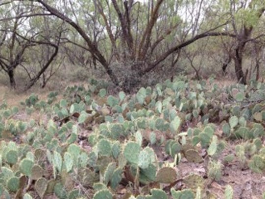 Prickly-pear cactus and mesquite had taken over much