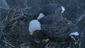 The Hanover eagles demeanour around their nest in Heidelberg