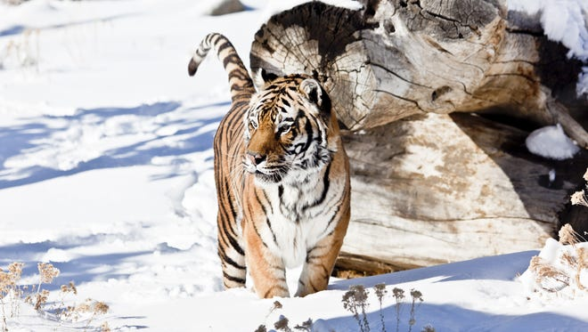 A submitted photo of Shere Khan, a 21 1/2 year-old Asian tiger, pouncing through snow.