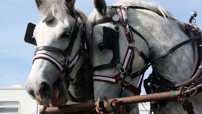 Lily and Donna, Percheron mares of Churchill breeder Gary Kisamore, share a moment Saturday at Percheron Field Day in Weyers Cave.