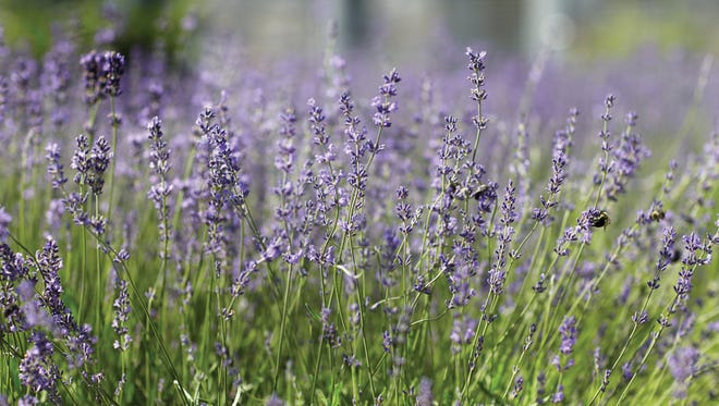 Martha's lavender thrives in well-drained soil and full sun, blooming for about two months starting in late May or early June.