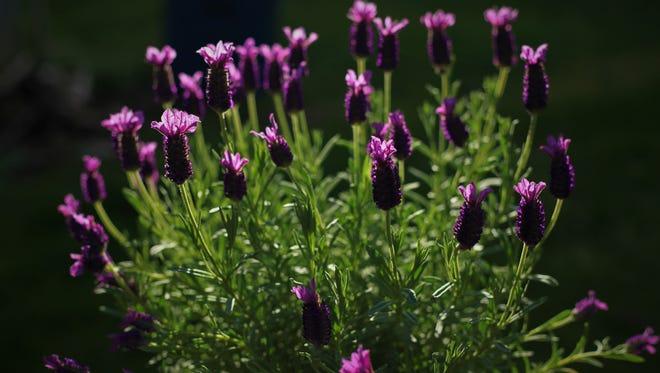 Reuel Liwag of Salem, lavender