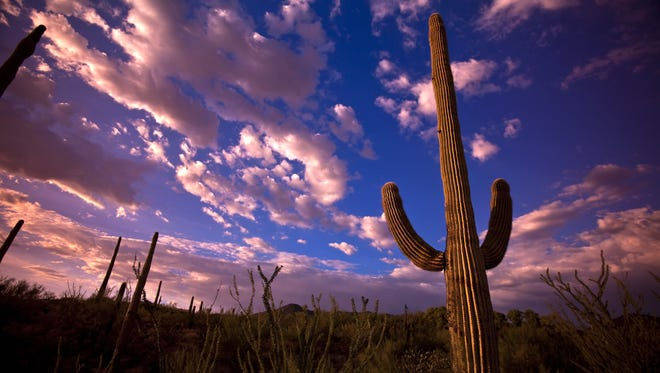 A saguaro stands tall at sunset at the Arizona-Sonora Desert Museum_credit