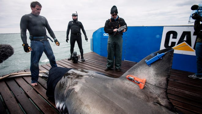 Lydia, weighing in at around 2,000 pounds and measuring 14 feet, 6 inches when she was fitted with her satellite tag on March 3, 2013 off Jacksonville.