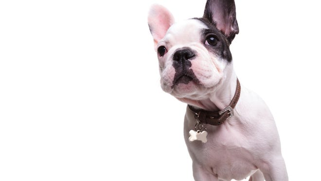 The French Bulldog took New York City's top spot once again in the American Kennel Club's (AKC)2017 ranking of the most popular AKC-recognized dog breeds in the U.S.
