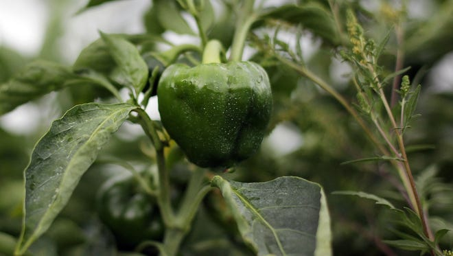 A green bell pepper grows on the Oakes Farm on Thursday, May 29, 2014, Immokalee.
