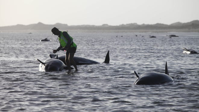 A Department of Conservation worker tends to a whale stranded on Farewell Spit, a famous spot for whale beachings, in Golden Bay on New Zealand's South Island, Friday Feb. 13.