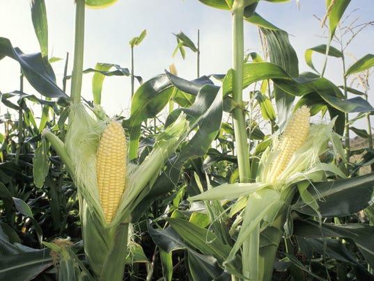 636069492181773507-WRTBrd-08-16-2014-Tribune-1-A003--2014-08-15-IMG-corn-crop.jpg-1-1-9M88PJEM-L468433113-IMG-corn-crop.jpg-1-1-9M88PJEM.jpg