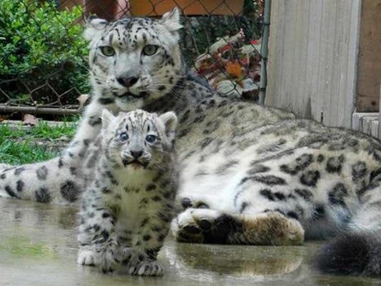636427914778238920-baby-leopard.jpg