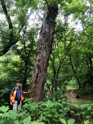 Biologist Tom Howe stands next to a shellbark hickory tree on a Knox County tract along Bull Run Creek that protected last year through a conservation easement agreement with the Foothills Land Conservation. (FOOTHILLS LAND CONSERVANCY/SPECIAL TO THE NEWS SENTINEL)