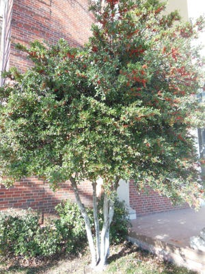 Photo courtesy of John Begnaud An old, well established, multi-trunked yaupon holly tree near the front steps of First Christian Church, 29 N. Oakes St., is a hearty accent.