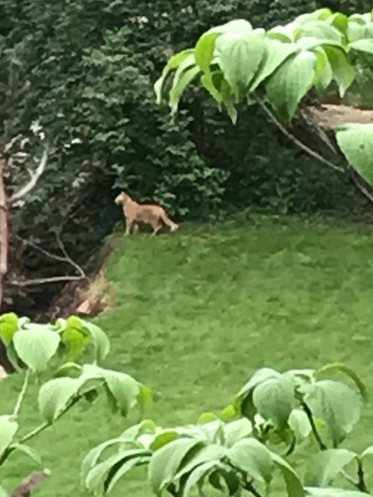 636620837234972920-Cat-spotted-by-homeowner.jpg