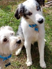 "Finn, right, is a 7-month old Australian shepherd who has just found his ""forever home"" in the Wisconsin Rapids area. His new friend, Koga, a 9-year-old Yorkie mix, is helping Finn adjust to his new life."