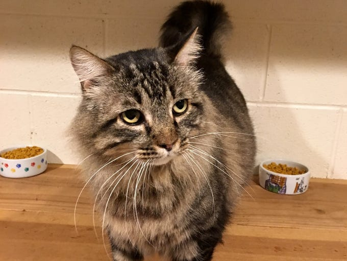 Hagrid is a 4-year-old, male, medium-haired Maine Coon