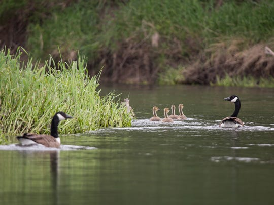 Geese and goslings on the Raccoon River in Sac County Thursday, May 19, 2016.