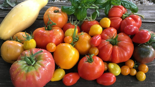 A day's harvest of delicious heirloom tomatoes, zucchini and herbs, make the work of maintaining a garden worth the effort. All these tomatoes were grown in the Erie garden of Erie Times-News staff photographer Jack Hanrahan.