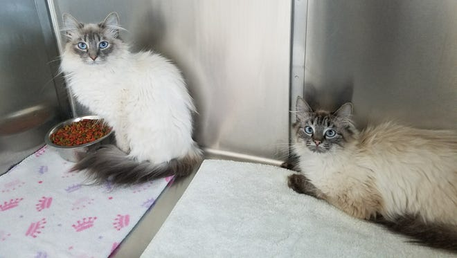 Sophie and Diana came into the shelter as strays, and they can be a little shy. They are both about a year old, and Sophie is a lilac-point Himalayan (she's the one sitting up) and Diana is a seal-point Himalayan (she's the one lying down). They're both bonded and have to be adopted together - when they're separated, they really get backwards. Do you have room in your home and heart for these girls?
