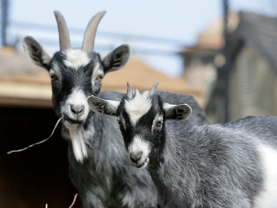 Baby African pygmy goats play in a pen with their mothers
