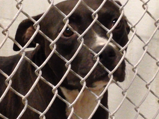 Mother of 7 pups, all found in hot at Sunday. All seem in good shape at Lee County Domestic Animal Services.