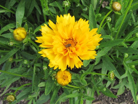 Bee in Tickseed (Coreopsis 'Sunfire')  attracts insects